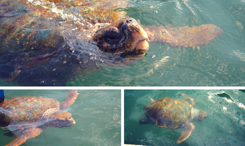 Loggerhead Turtles in Argostoli Bay
