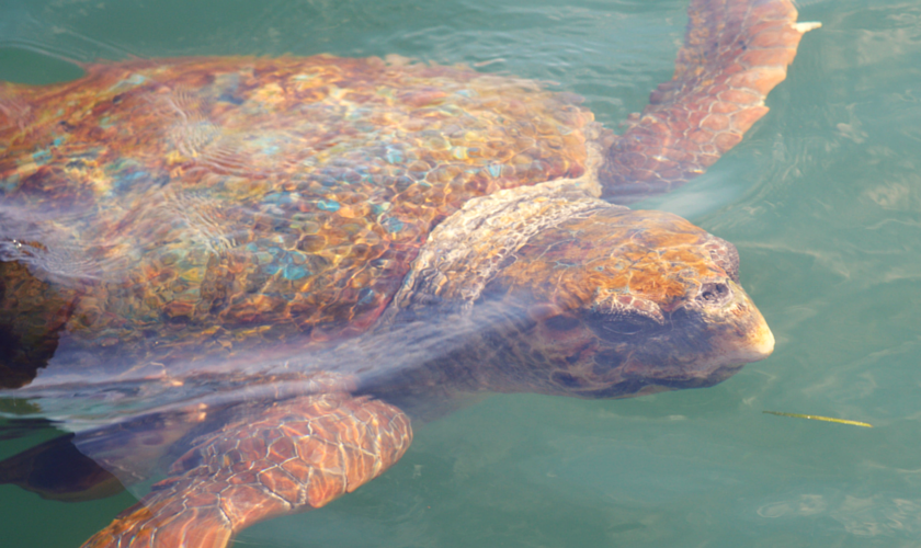 Meeting wild Loggerhead Turtles (1)
