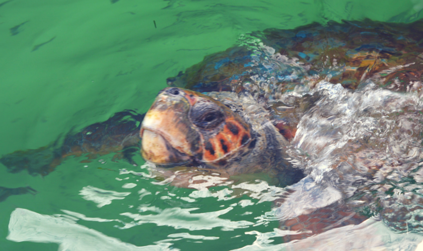 Meeting wild Loggerhead Turtles (2)