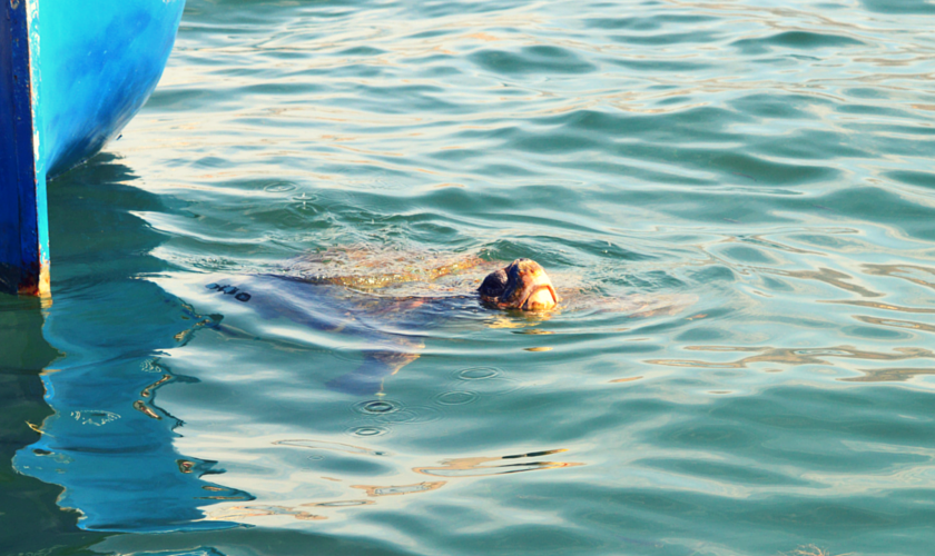 Meeting wild Loggerhead Turtles (3)