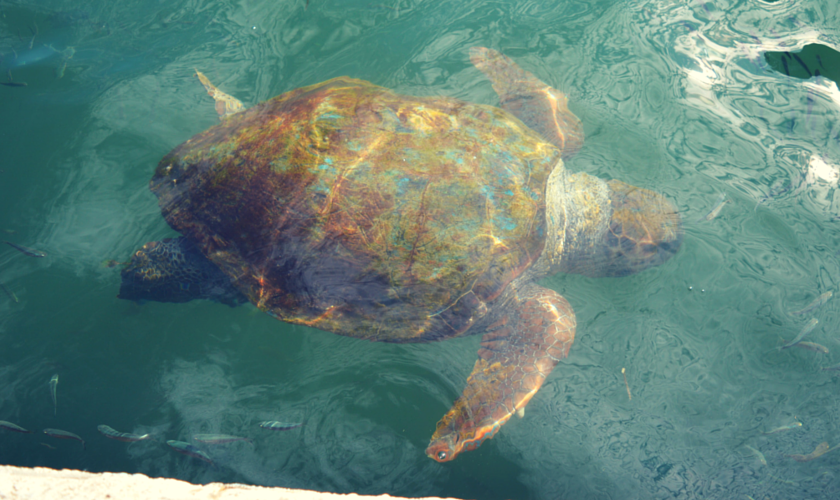 Meeting wild Loggerhead Turtles (4)
