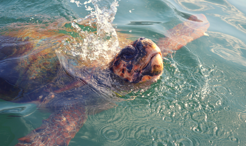 Meeting wild Loggerhead Turtles (6)