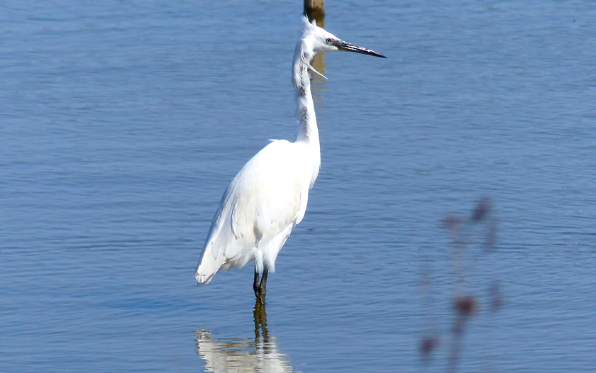 White bird in the water at RSPB Nature Reserve Conwy.